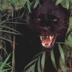 Black panther growling in foilage