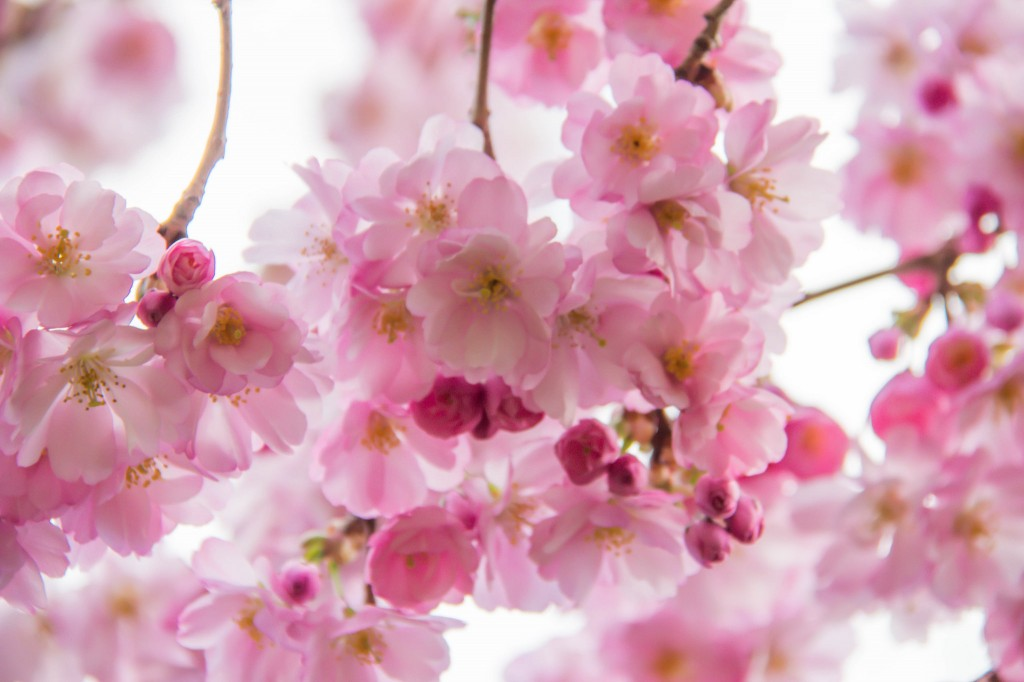 image of pink cherry blossoms